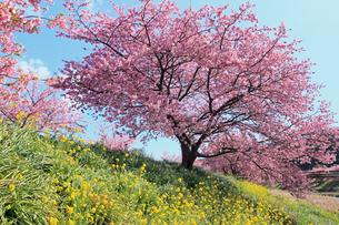 3月 伊豆半島の青野川の河津桜の写真素材 [FYI04290773]