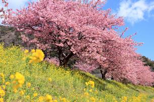 3月 伊豆半島の青野川の河津桜の写真素材 [FYI04290776]