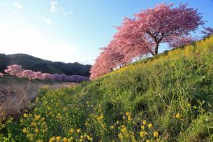 3月 伊豆半島の青野川の河津桜の写真素材 [FYI04290790]
