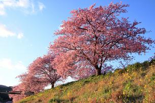 3月 伊豆半島の青野川の河津桜の写真素材 [FYI04290791]