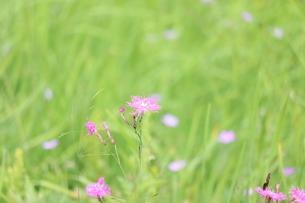ピンクの花の写真素材 [FYI04290821]