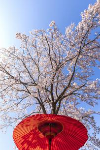春の野点傘の写真素材 [FYI04290831]