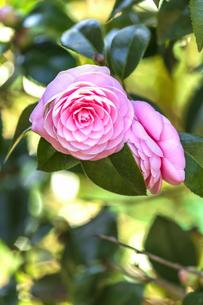 春呼ぶ椿の写真素材 [FYI04290832]