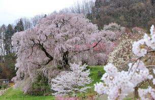 満開の又兵衛桜の写真素材 [FYI04290955]