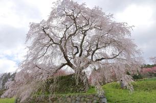 満開の又兵衛桜の写真素材 [FYI04290956]