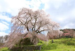 満開の又兵衛桜の写真素材 [FYI04290957]