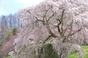 満開の又兵衛桜の写真素材 [FYI04290958]