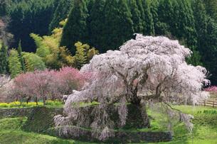 満開の又兵衛桜の写真素材 [FYI04290960]
