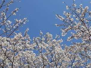 満開の桜と青空の写真素材 [FYI04290979]