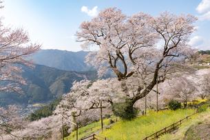 ひょうたん桜の写真素材 [FYI04290998]