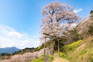 ひょうたん桜の写真素材 [FYI04290999]