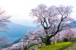 ひょうたん桜の写真素材 [FYI04291000]
