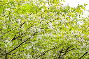斜里岳山腹 新緑の森のチシマザクラの写真素材 [FYI04291029]
