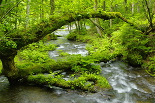 阿寒川上流域 新緑の森の写真素材 [FYI04291038]