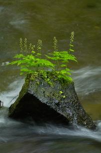 阿寒川上流域 新緑の水辺の写真素材 [FYI04291039]