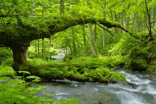 阿寒川上流域 新緑の森と渓流の写真素材 [FYI04291040]