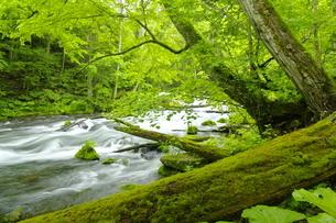 阿寒川上流 新緑の森と渓流の写真素材 [FYI04291041]