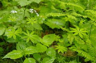 阿寒川上流域 新緑の森 林床の草花の写真素材 [FYI04291043]