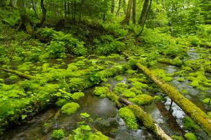 阿寒川上流域 新緑の森の写真素材 [FYI04291044]