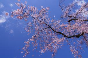 小石川後楽園の枝垂れ桜の写真素材 [FYI04291117]