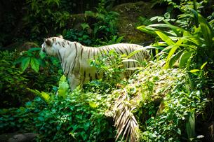 ジャングルに佇むホワイトタイガーの写真素材 [FYI04291118]