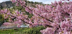 河津桜の写真素材 [FYI04291120]