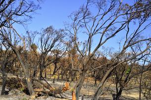 西オーストラリア州の山火事で焼けた木々と空のある景観の写真素材 [FYI04291154]