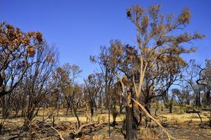 西オーストラリア州の山火事で焼けた木々と空のある景観の写真素材 [FYI04291155]