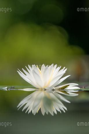 睡蓮の写真素材 [FYI04291179]