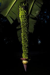 タイ バナナの花の写真素材 [FYI04291228]