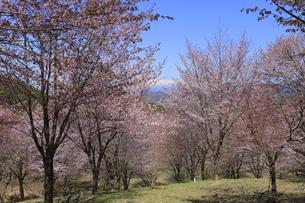 桜峠の写真素材 [FYI04291252]