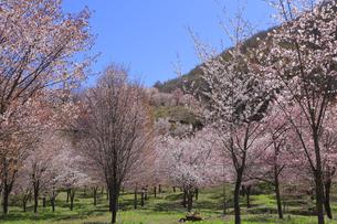 桜峠の写真素材 [FYI04291254]
