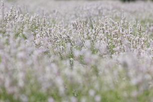 白いラベンダーの写真素材 [FYI04291259]