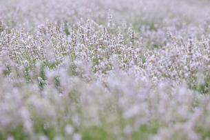 白いラベンダーの写真素材 [FYI04291260]