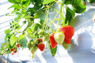 温かな温室で育てられた苺の収穫体験、いちご狩り。高設栽培なので収穫も楽々。の写真素材 [FYI04291286]