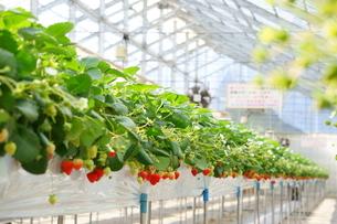 温かな温室で育てられた苺の収穫体験、いちご狩り。高設栽培なので収穫も楽々。の写真素材 [FYI04291290]