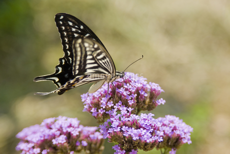 蝶の写真素材 [FYI04291327]