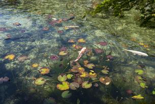 モネの池の写真素材 [FYI04291332]