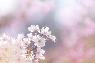 桜の花アップの写真素材 [FYI04291602]