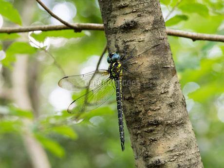夏の林縁にぶら下がるネアカヨシヤンマ(オス、自然光撮影)の写真素材 [FYI04291673]
