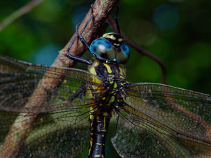 ネアカヨシヤンマの複眼(リングストロボ照明)の写真素材 [FYI04291675]