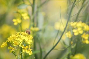 菜の花と蜜蜂の写真素材 [FYI04291680]