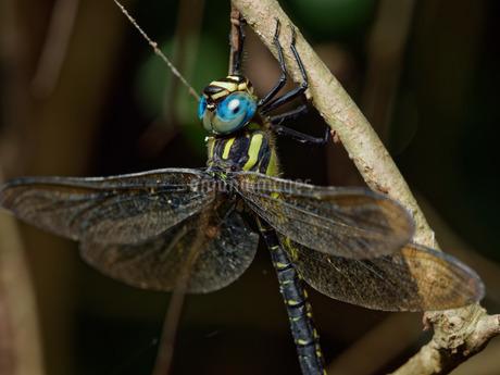 ネアカヨシヤンマの複眼(リングストロボ照明)の写真素材 [FYI04291688]