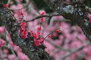 梅の花の写真素材 [FYI04291805]