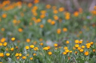 春の黄色い草花の写真素材 [FYI04291811]