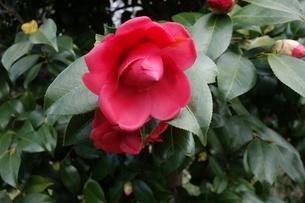 冬に咲いた赤い椿の花の写真素材 [FYI04291877]