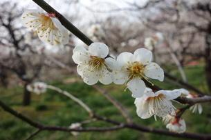 早春に咲いた日本の白い梅の花の写真素材 [FYI04292065]