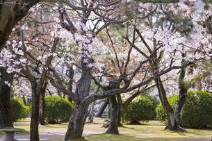 九華公園の桜の写真素材 [FYI04292099]