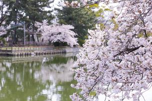 九華公園の桜の写真素材 [FYI04292127]