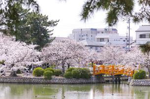 九華公園の桜の写真素材 [FYI04292135]